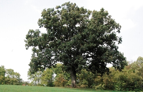 Shawshank Oak Tree
